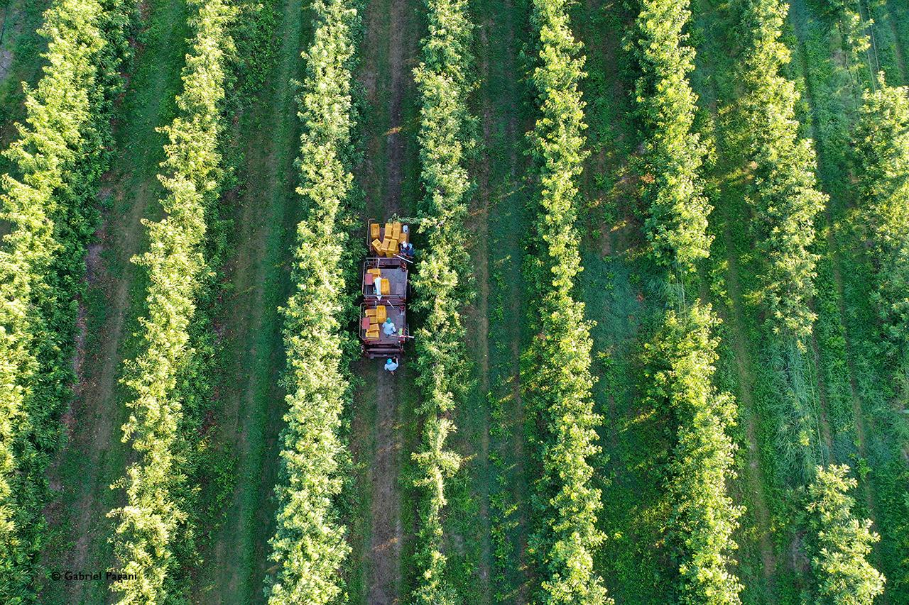 Foto da drone, ciliegie di vignola, raccolat, agricoltura, pattern, Emilia